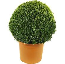 Buis boule FloraSelf Buxus sempervirens H60-70cm pot de Ø42cm-thumb-0