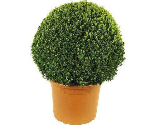 Buis boule FloraSelf Buxus sempervirens H60-70cm pot de Ø42cm