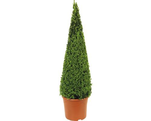 Buchsbaum-Pyramide FloraSelf Buxus sempervirens H 90-105 cm Co 12 L