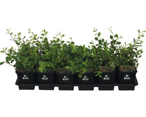 12 x Cotonéaster de Dammer FloraSelf Cotoneaster dammeri ''Eichholz'' H 10-15 cm pot Ø 9 cm