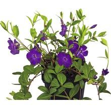 12 x violettblühendes Immergrün FloraSelf Vinca minor 'Atropurpurea' H 5-7 cm Ø 9 cm Topf-thumb-0