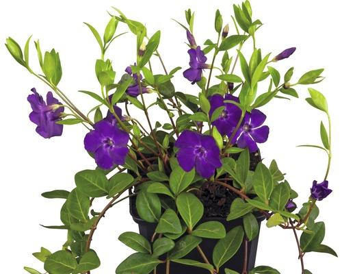 12 x pervenche aux fleurs violettes FloraSelf Vinca minor ''Atropurpurea'' H 5-7 cm pot Ø 9 cm