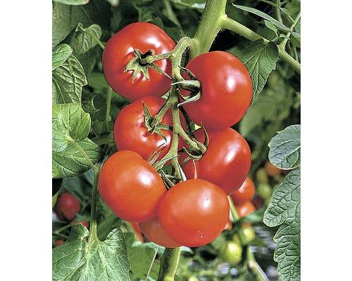 Tomate ''Phantasia'' FloraSelf Lycopersicon esculentum ''Phantasia'' pot Ø 10 cm