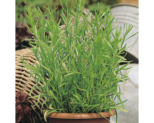 Estragon FloraSelf Artemisia dracunculus H 10-13 cm Co 1,2 l