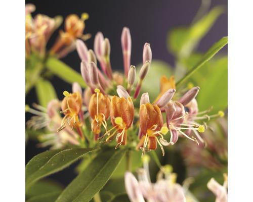 Geißblatt FloraSelf Lonicera henryi H 50-70 cm Co 2,3 L