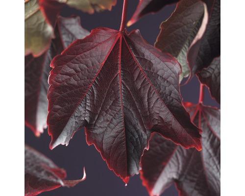 Wilder Wein FloraSelf Parthenocissus tricuspidata ''Veitchii'' H 50-70 cm Co 2,3 L