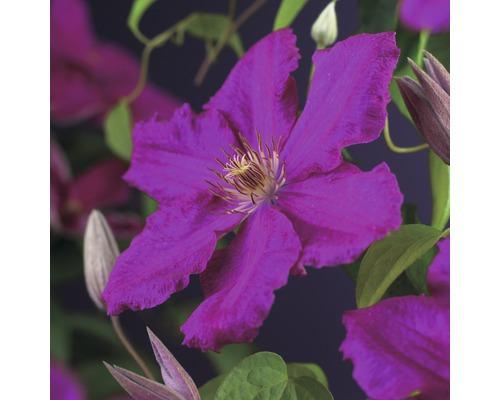 Großblumige Waldrebe FloraSelf Clematis Hybride ''Ernest Markham'' H 50-70 cm Co 2,3 L