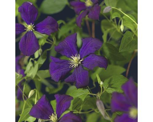 Italienische Waldrebe FloraSelf Clematis viticella ''Etoile Violette'' H 50-70 cm Co 2,3 L