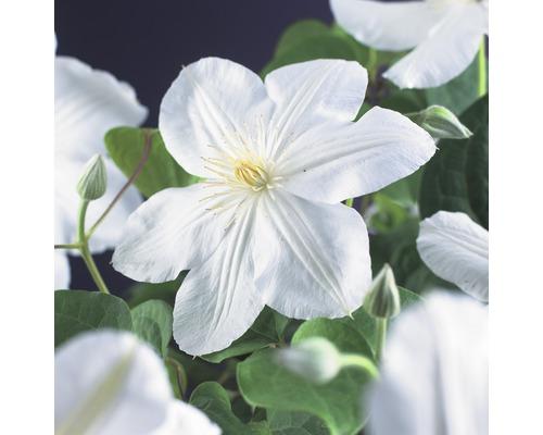 Großblumige Waldrebe FloraSelf Clematis Hybride'' Madame Le Coultre'' H 50-70 cm Co 2,3 L