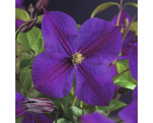 Waldrebe FloraSelf Clematis ''Star of India'' 53-70 cm