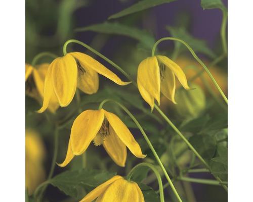 Mongolei-Waldrebe FloraSelf Clematis tangutica H 50-70 cm Co 2,3 L