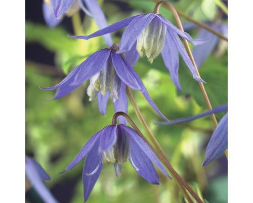 Waldrebe FloraSelf Clematis alpina 50-70 cm