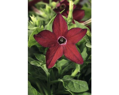 Tabac FloraSelf Nicotiana x sanderare pot Ø 10,5 cm