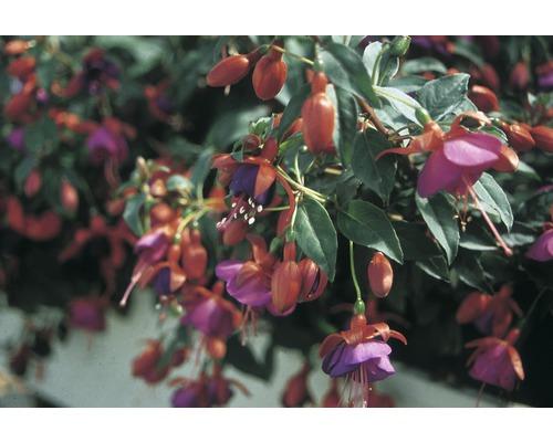 Fuchsia FloraSelf Fuchsia-Cultivars pot Ø10,5cm en suspension