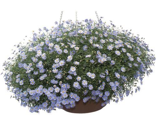 Brachyscome à feuilles d''ibéris FloraSelf® pot de 10.5, bleu