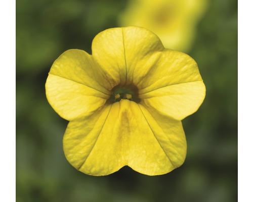 Mini pétunias retombants FloraSelf® pot de 10.5 jaune