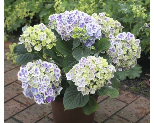 Hortensia FloraSelf® Hydrangea macrophylla bicolore 30-40 cm