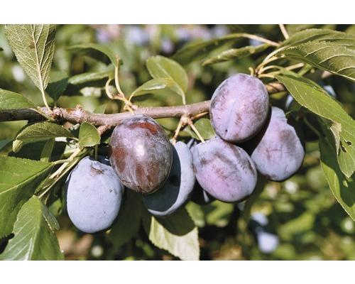 Quetschier FloraSelf Prunus domestica ''Hanita''® H100-150cm Co 6L