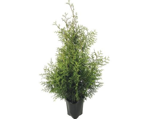 Thuja FloraSelf® Thuja Brabant 125-150 cm