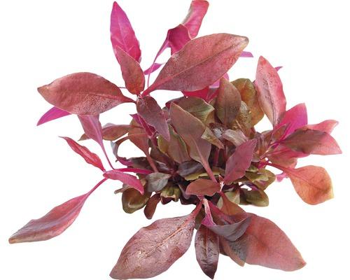 Feuille perroquet couleur lilas In-Vitro