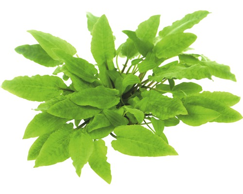Cryptocoryne Wendts à larges feuilles In-Vitro-0