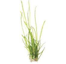 Plante graminée à longues feuilles In-Vitro-thumb-1