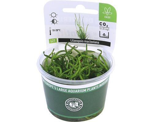 Plante graminée à longues feuilles In-Vitro-0