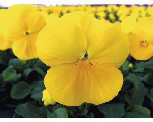 Violette cornue, Viola cornuta, pack de 10, diverses couleurs