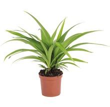 Lys vert FloraSelf Chlorophytum comosum ''Ocean'' H 10-15 cm pot Ø 7 cm-thumb-0