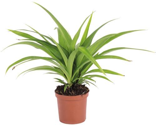 Lys vert FloraSelf Chlorophytum comosum ''Ocean'' H 10-15 cm pot Ø 7 cm-0