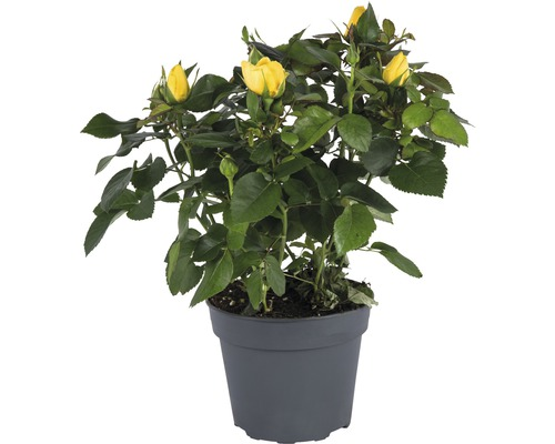 Rose FloraSelf Rosa Hybride ''Elouise'' H20-25 cm Ø 13 cm pot jaune