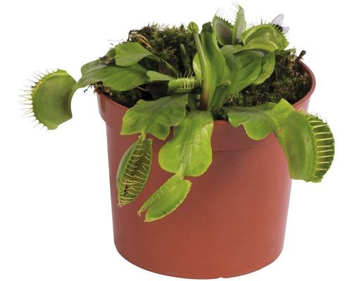 Dionée attrape-mouche FloraSelf Dionaea muscipula H 8-12 cm pot Ø 8,5 cm