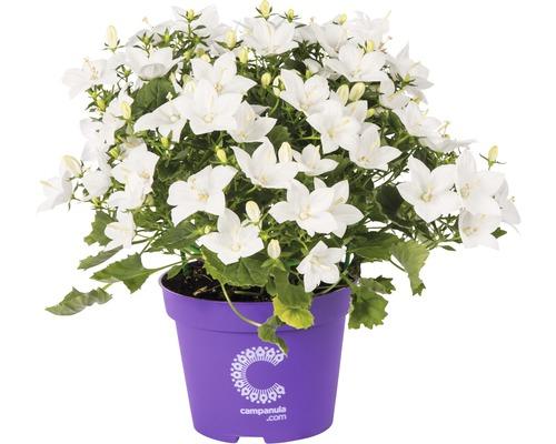 Campanule italienne FloraSelf Campanula isophylla ''Atlanta'' H15-17 cm pot Ø 11 cm