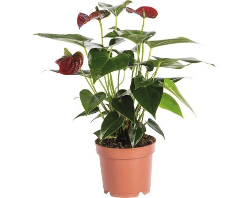 Langue de feu - Anthurium FloraSelf Anthurium andreanum h 35-40 cm pot de Ø 12 cm rouge