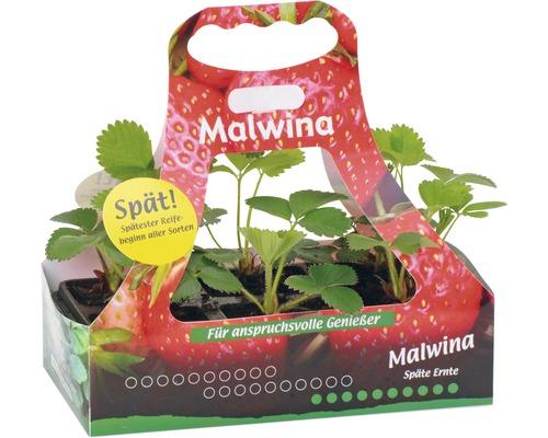 Fraisier tardif FloraSelf Fragaria x ananassa ''Malwina'' lot de 6