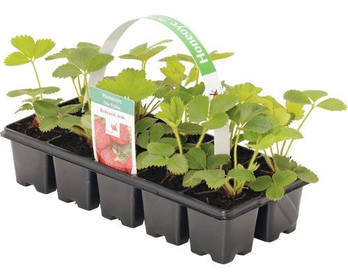 Fraisier précoce FloraSelf Fragaria x ananassa ''Honeoye'' 10 plants