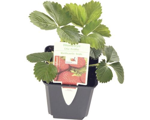 Fraisier précoce FloraSelf Fragaria x ananassa ''Honeoye'' pot Ø 9 cm