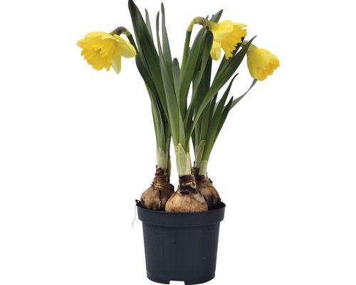 Narcisse jaune, narcisse trompette FloraSelf Narcissus pseudonarcissus ''Kiss Me'' pot Ø 9 cm