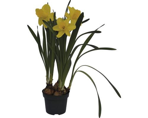Narcisse jaune, narcisse trompette FloraSelf Narcissus pseudonarcissus ''Lucky Number'' pot Ø 12 cm