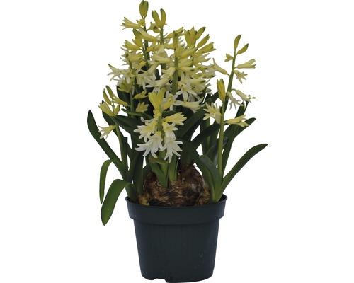 Jacinthe FloraSelf Hyacinthus orientalis pot Ø 12 cm, blanche