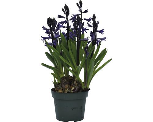 Jacinthe FloraSelf Hyacinthus orientalis pot Ø 12 cm, bleue