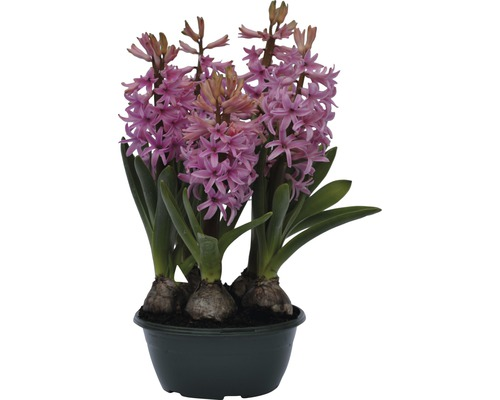 Jacinthe FloraSelf Hyacinthus orientalis ''Pink Pearl'' pot Ø 16 cm