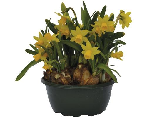 Narcisse jaune, narcisse trompette FloraSelf Narcissus pseudonarcissus ''Tête à Tête'' pot Ø16cm