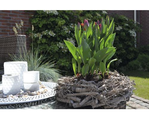 Tulipe FloraSelf Tulipa x Hybride ''Movie Star'' pot Ø16cm