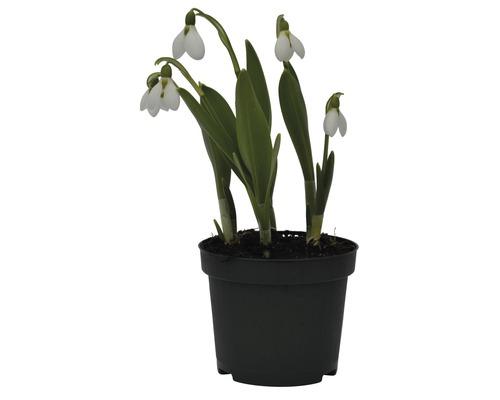 Perce-neige FloraSelf Galanthus nivalis ''Elwessi'' pot Ø9cm