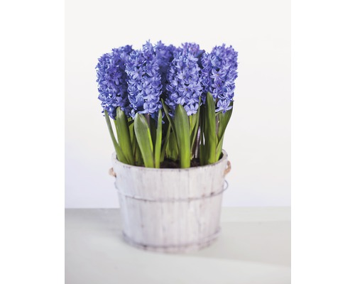 Jacinthe FloraSelf Hyacinthus orientalis ''Blue Star'' pot Ø9cm