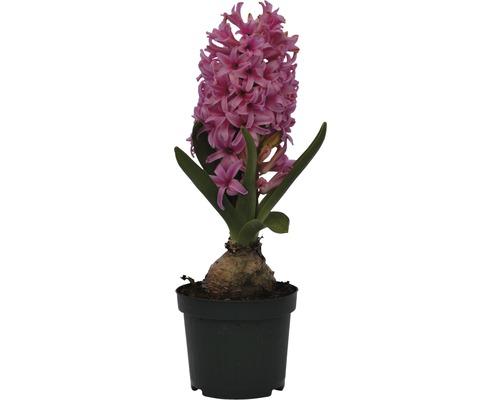 Jacinthe FloraSelf Hyacinthus orientalis ''Pink Pearl'' pot Ø9cm