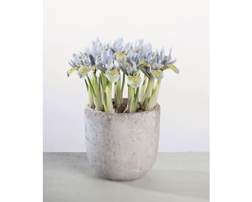 Iris réticulé FloraSelf Iris retuculata ''Katharina Hotchkin'' pot Ø9cm