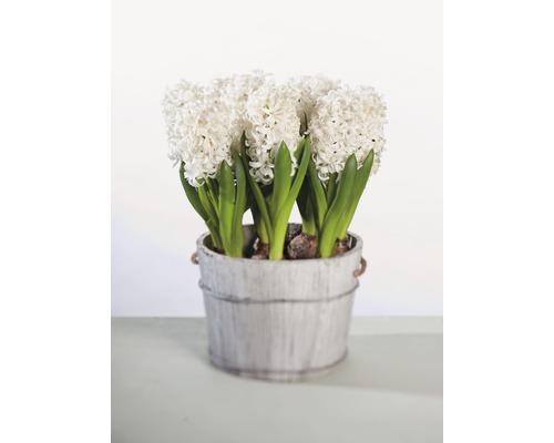 Jacinthe FloraSelf Hyacinthus orientalis ''White Pearl'' pot Ø9cm