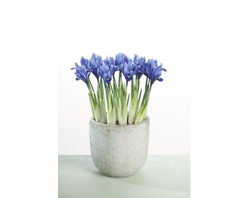 Iris réticulé FloraSelf Iris reticulata ''Harmony'' pot Ø9cm